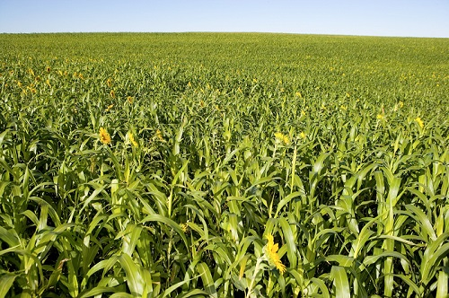 Cover crops, photo by NCRS